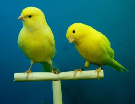 2016-canary-birds-championship-holds-sunday-nigeria
